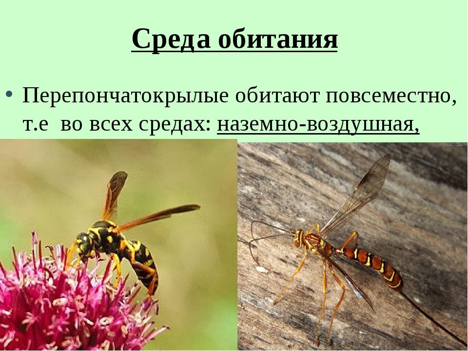 Среда обитания Перепончатокрылые обитают повсеместно, т.е во всех средах: наз...