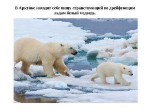 В Арктике находит себе пищу странствующий по дрейфующим льдам белый медведь.