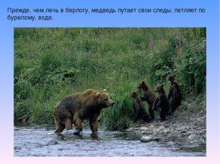 Прежде, чем лечь в берлогу, медведь путает свои следы, петляет по бурелому, в
