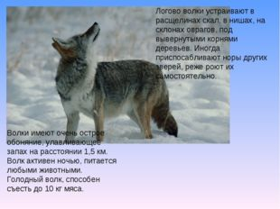Логово волки устраивают в расщелинах скал, в нишах, на склонах оврагов, под в