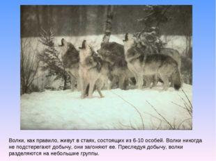 Волки, как правило, живут в стаях, состоящих из 6-10 особей. Волки никогда не