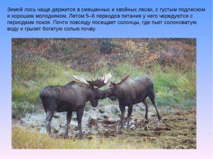 Зимой лось чаще держится в смешанных и хвойных лесах, с густым подлеском и хо