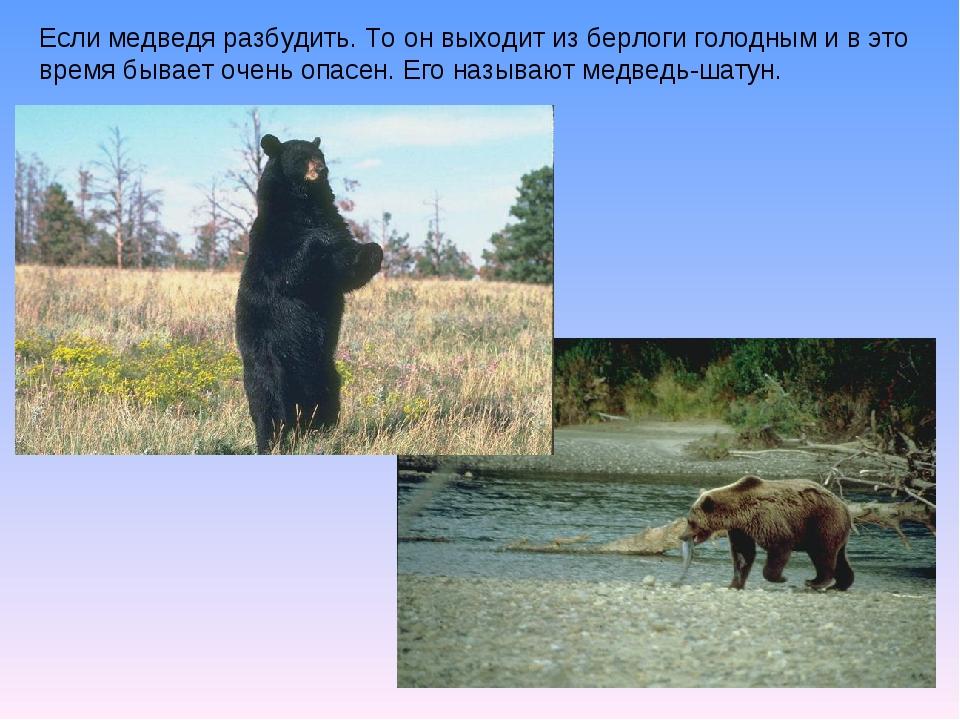 Если медведя разбудить. То он выходит из берлоги голодным и в это время бывае...