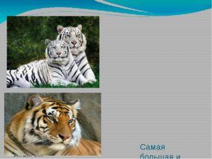 Самая большая и самая грозная из крупных кошек это тигр. Взрослые самцы амур