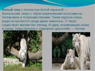 Белый тигр с полностью белой окраской— бенгальские тигры с чёрно-коричневыми