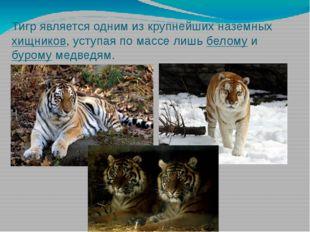 Тигр является одним из крупнейших наземныххищников, уступая по массе лишьбе