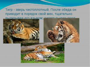 Тигр - зверь чистоплотный. После обеда он приводит в порядок свой мех, тщател