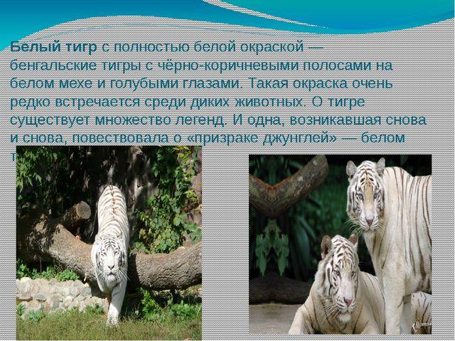 Белый тигр с полностью белой окраской— бенгальские тигры с чёрно-коричневыми...