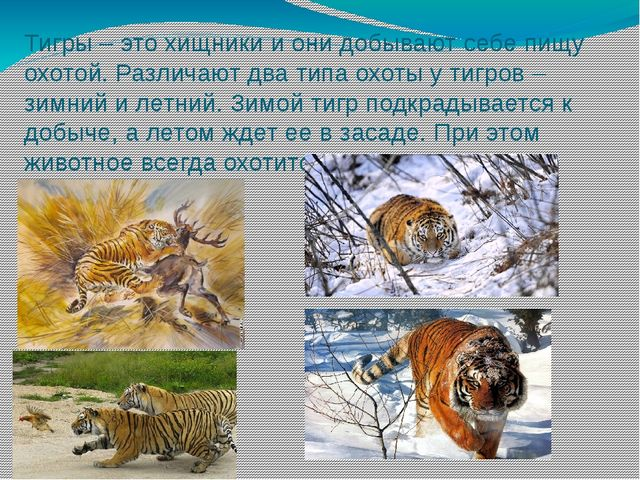Тигры – это хищники и они добывают себе пищу охотой. Различают два типа охоты...