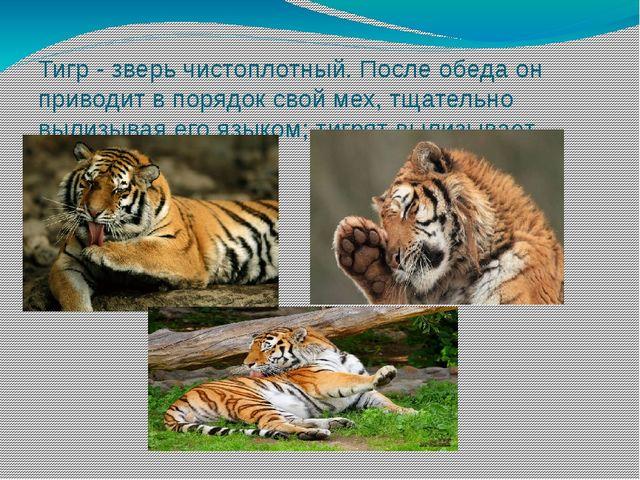 Тигр - зверь чистоплотный. После обеда он приводит в порядок свой мех, тщател...