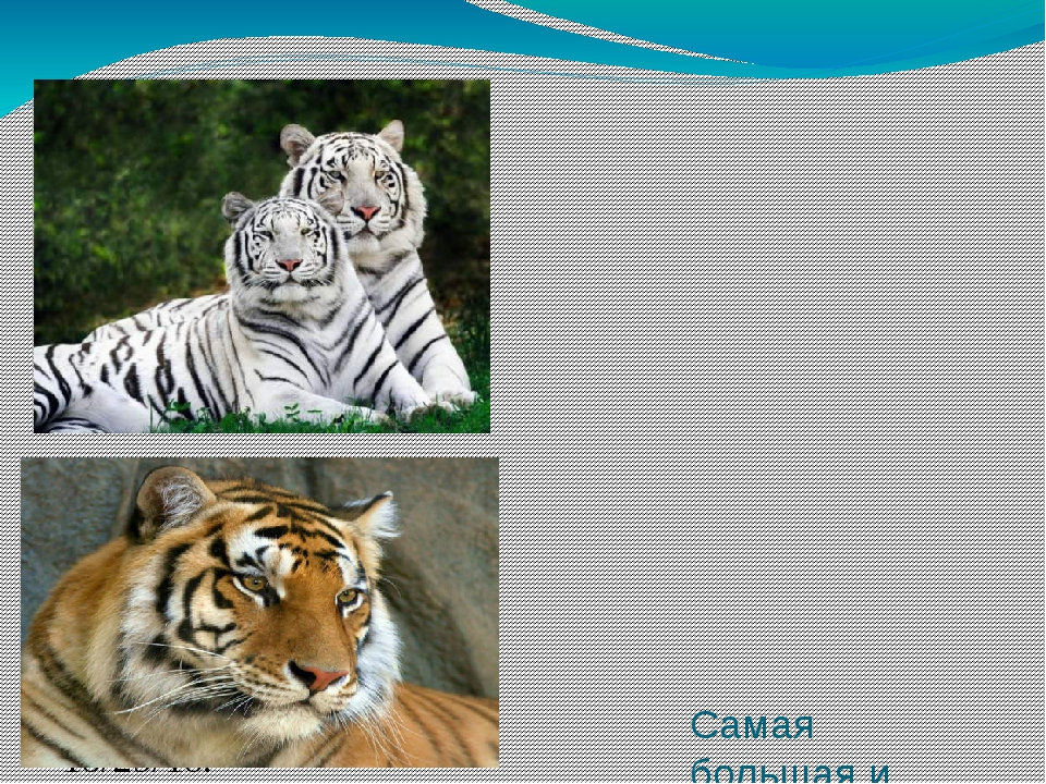 Самая большая и самая грозная из крупных кошек это тигр. Взрослые самцы амур...