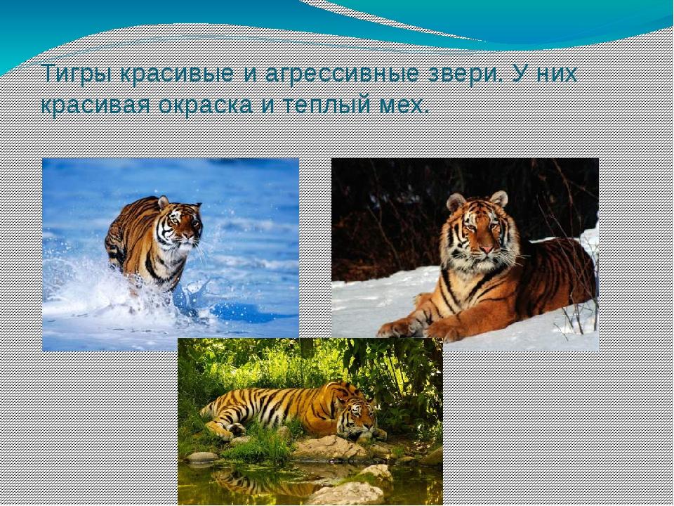 Тигры красивые и агрессивные звери. У них красивая окраска и теплый мех.