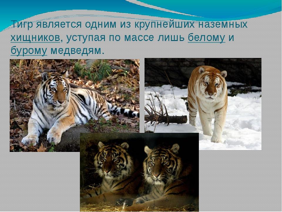 Тигр является одним из крупнейших наземныххищников, уступая по массе лишьбе...