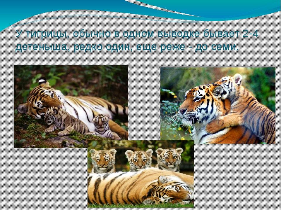 У тигрицы, обычно в одном выводке бывает 2-4 детеныша, редко один, еще реже -...