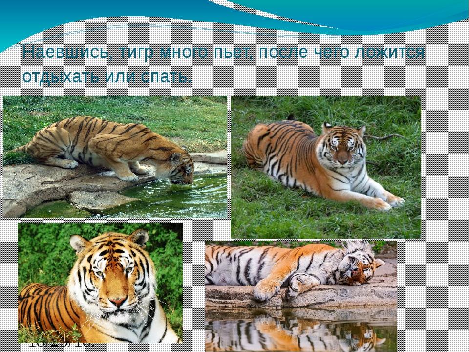 Наевшись, тигр много пьет, после чего ложится отдыхать или спать. .