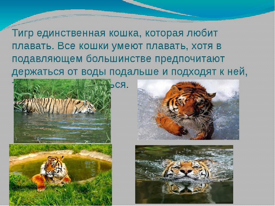 Тигр единственная кошка, которая любит плавать. Все кошки умеют плавать, хотя...