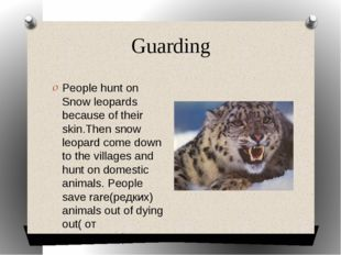 Guarding People hunt on Snow leopards because of their skin.Then snow leopard