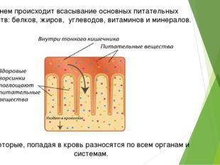 В нем происходит всасывание основных питательных веществ: белков, жиров, угле