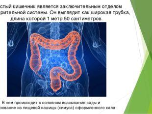 Толстый кишечник является заключительным отделом пищеварительной системы. Он