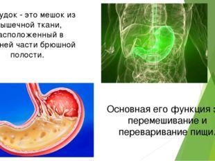 Желудок - это мешок из мышечной ткани, расположенный в верхней части брюшной