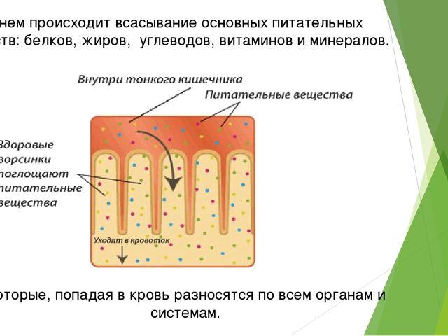 В нем происходит всасывание основных питательных веществ: белков, жиров, угле...