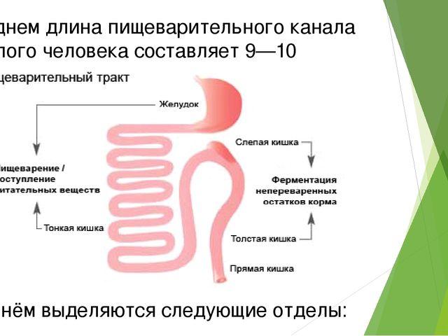 В среднем длина пищеварительного канала взрослого человека составляет 9—10 ме...