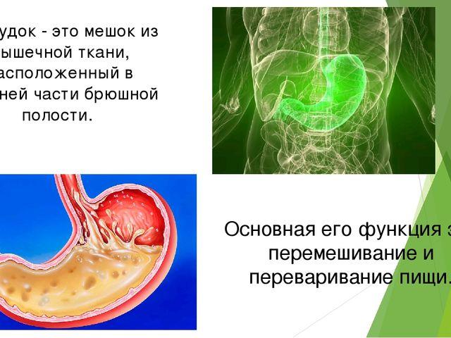 Желудок - это мешок из мышечной ткани, расположенный в верхней части брюшной...
