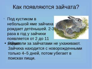 Как появляются зайчата? Под кустиком в небольшой яме зайчиха рождает детёныше