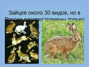 Зайцев около 30 видов, но в России распространены только заяц-топай, маньчжу