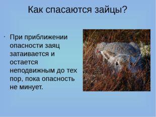 Как спасаются зайцы? При приближении опасности заяц затаивается и остается не
