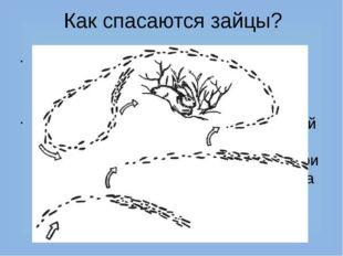 Как спасаются зайцы? Спасают зайца только быстрые ноги – он может развивать с