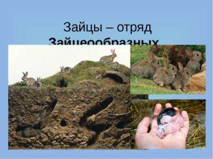 Зайцы – отряд Зайцеообразных. Их родственники – кролики. В отличие от зайцев