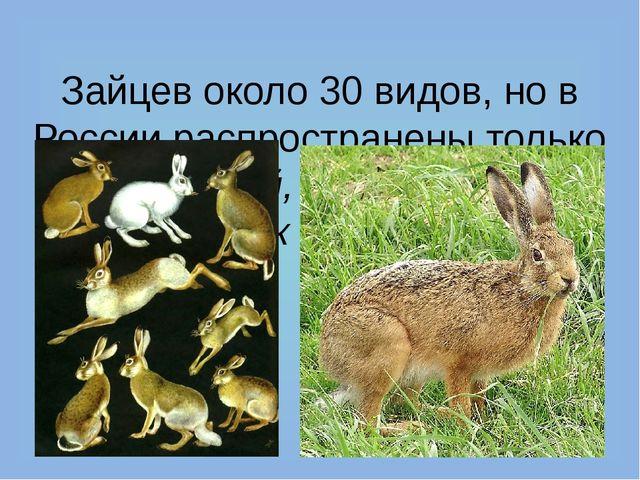 Зайцев около 30 видов, но в России распространены только заяц-топай, маньчжу...