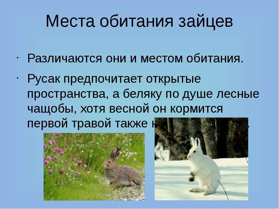 Места обитания зайцев Различаются они и местом обитания. Русак предпочитает о...
