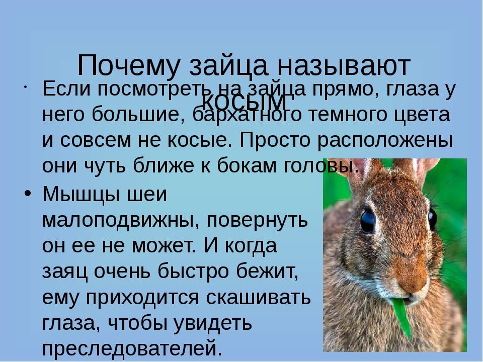 Почему зайца называют косым Если посмотреть на зайца прямо, глаза у него бол...
