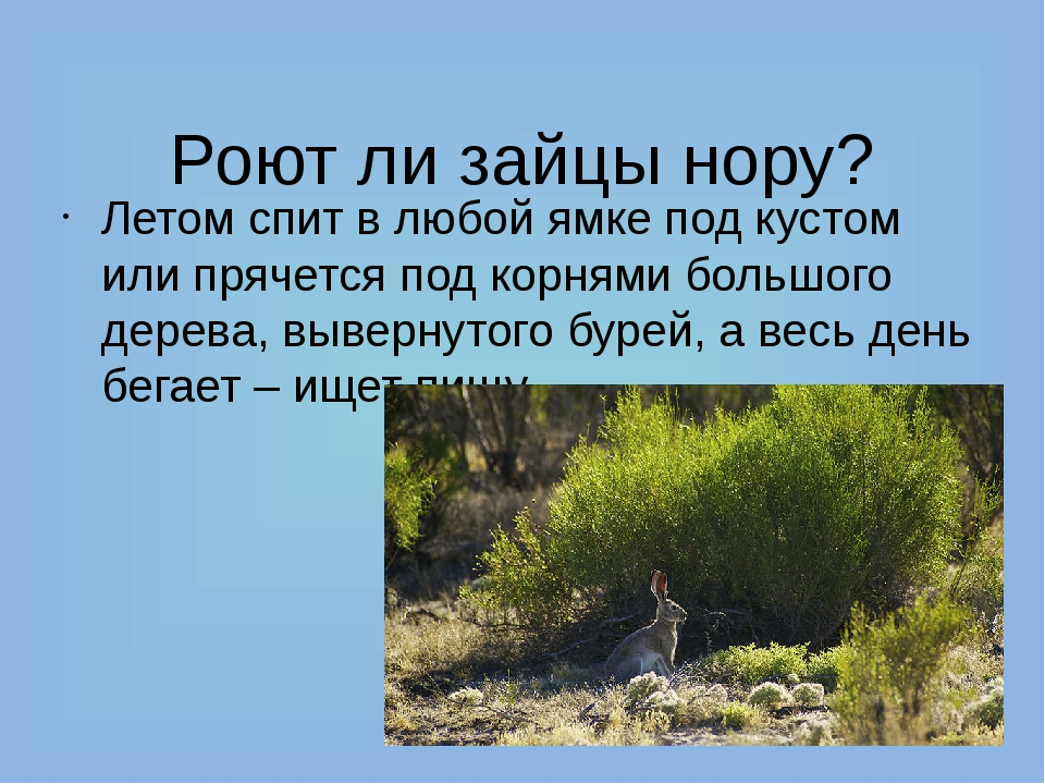 Роют ли зайцы нору? Летом спит в любой ямке под кустом или прячется под корн...
