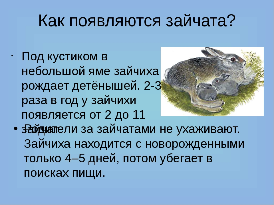Как появляются зайчата? Под кустиком в небольшой яме зайчиха рождает детёныше...