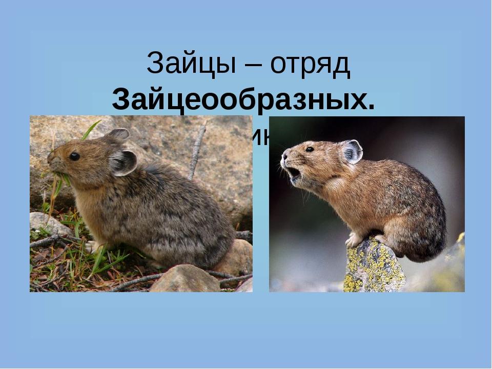 Зайцы – отряд Зайцеообразных. Их родственники – пищухи. Пищуха степная