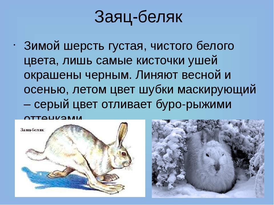 Заяц-беляк Зимой шерсть густая, чистого белого цвета, лишь самые кисточки уше...
