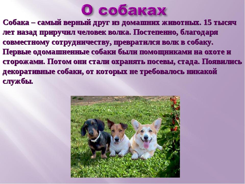 Собака – самый верный друг из домашних животных. 15 тысяч лет назад приручил...