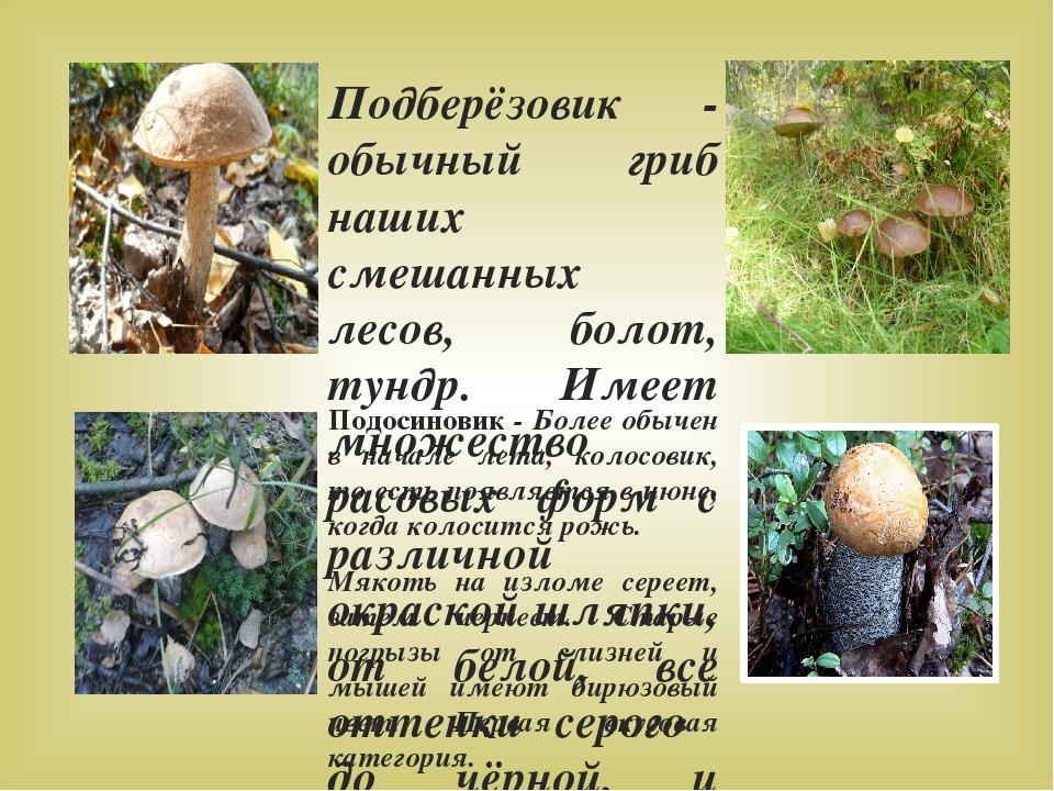 Подосиновик - Более обычен в начале лета, колосовик, то есть появляется в июн...