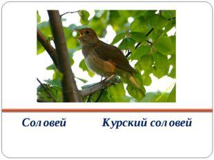 Соловей Курский соловей