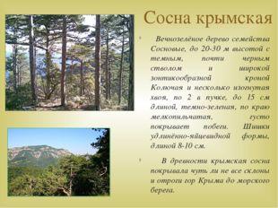 Сосна крымская Вечнозелёное дерево семейства Сосновые, до 20-30 м высотой с т