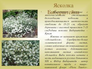 Ясколка Биберштейна Многолетнее растение с многочисленными стелющимися беспло