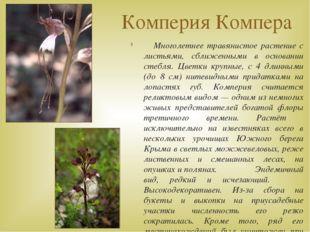 Комперия Компера Многолетнее травянистое растение с листьями, сближенными в о