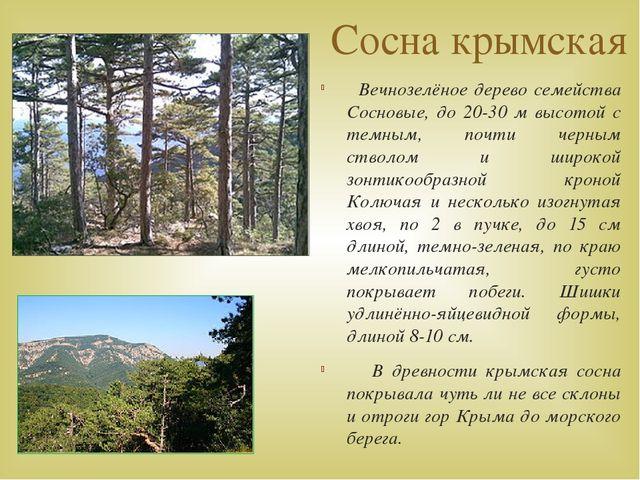 Сосна крымская Вечнозелёное дерево семейства Сосновые, до 20-30 м высотой с т...