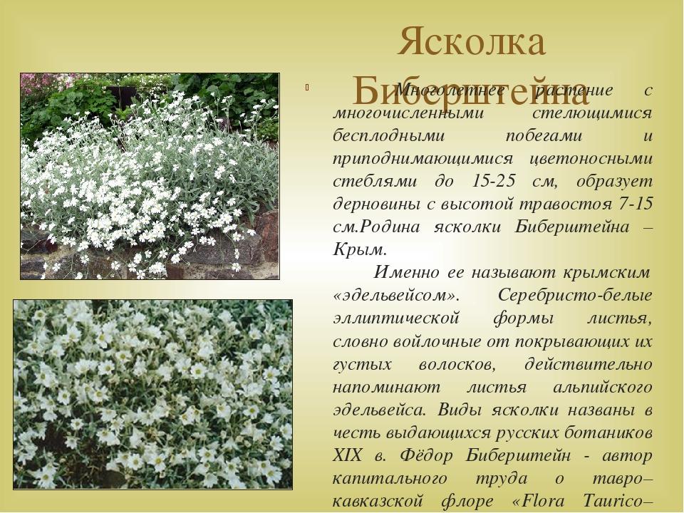 Ясколка Биберштейна Многолетнее растение с многочисленными стелющимися беспло...
