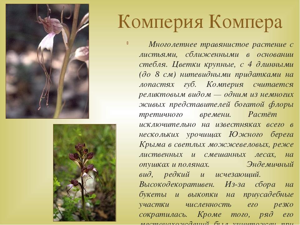 Комперия Компера Многолетнее травянистое растение с листьями, сближенными в о...