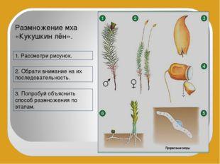 Размножение мха «Кукушкин лён». 1. Рассмотри рисунок. 2. Обрати внимание на и