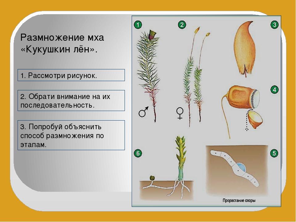 Размножение мха «Кукушкин лён». 1. Рассмотри рисунок. 2. Обрати внимание на и...